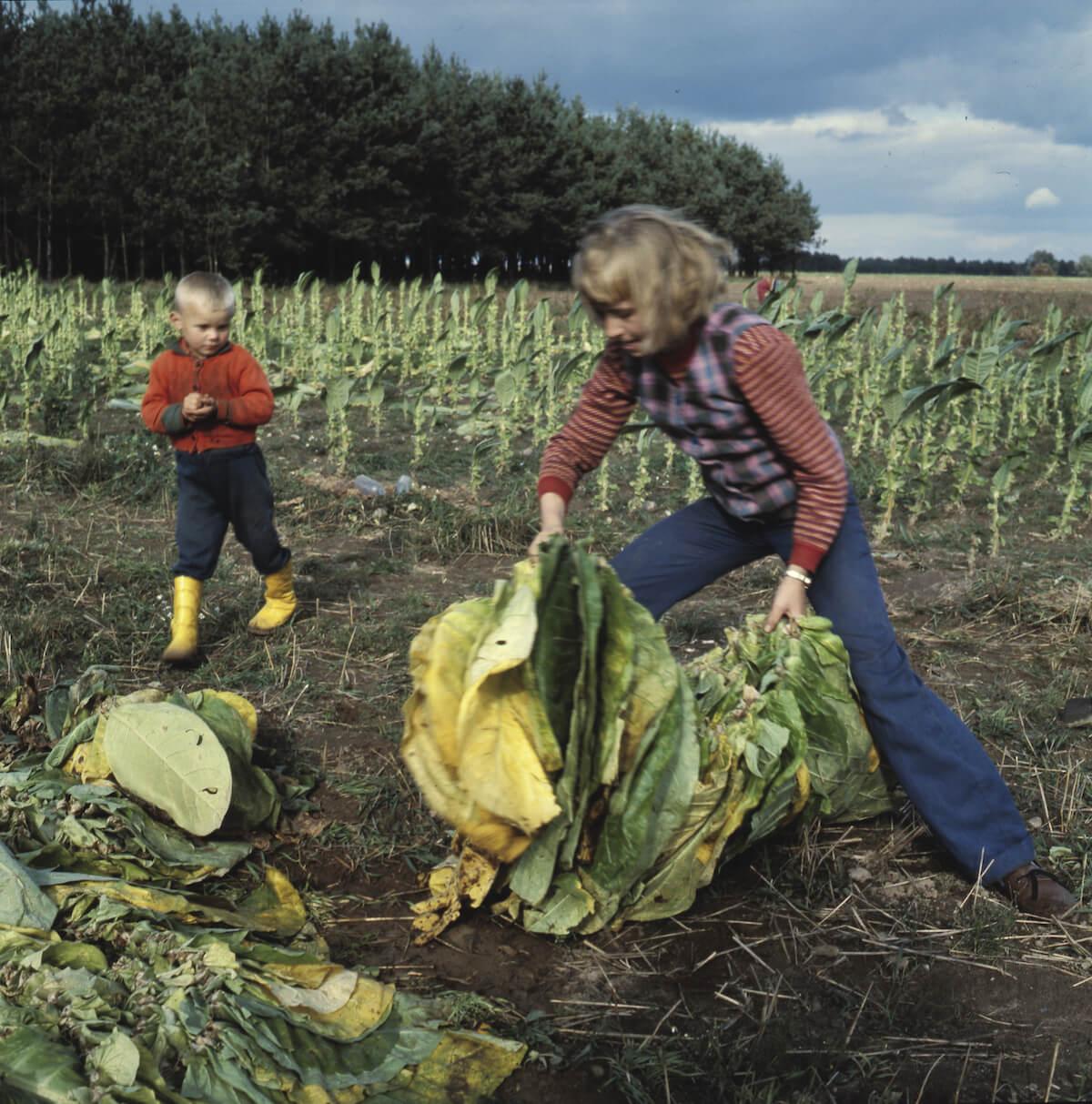 Dzieci zbierają kapustę na polu.