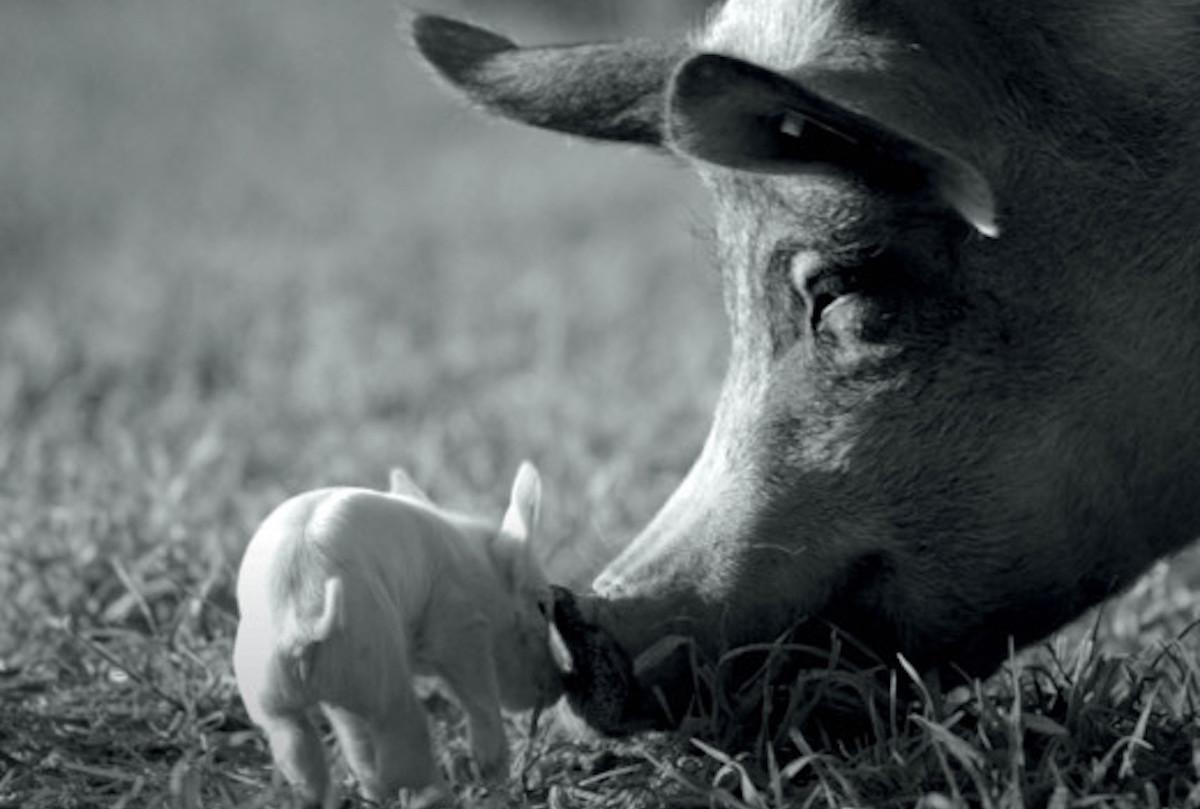 Plakat filmu dystrybuowanego przez Gutek film ze świniami.